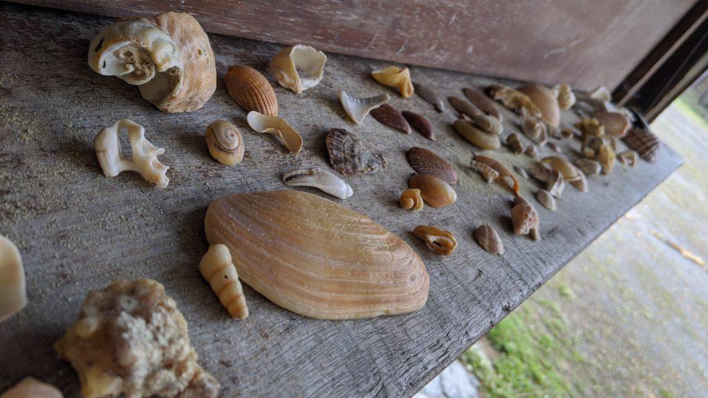 am Strand vom Atlantik gesammelte Muscheln verschiedener Größe und Farbe