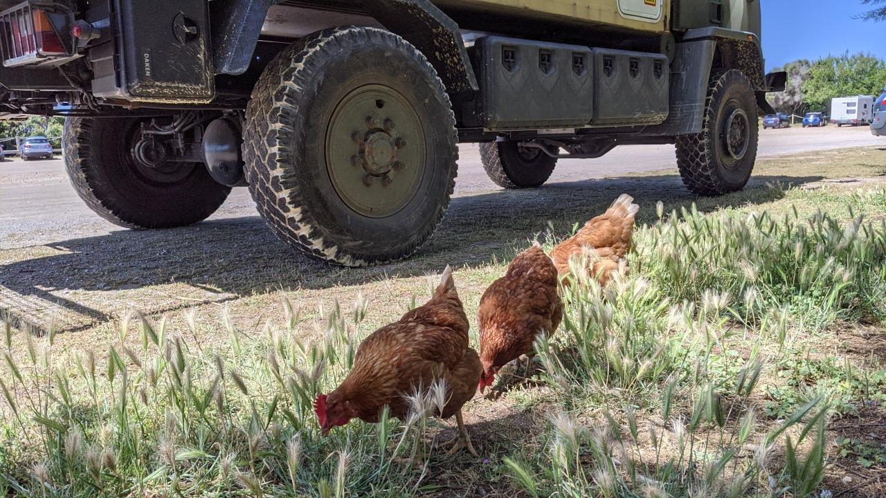 Drei Hühner picken vor dem LKW Truck Krümel vom Frühstück auf