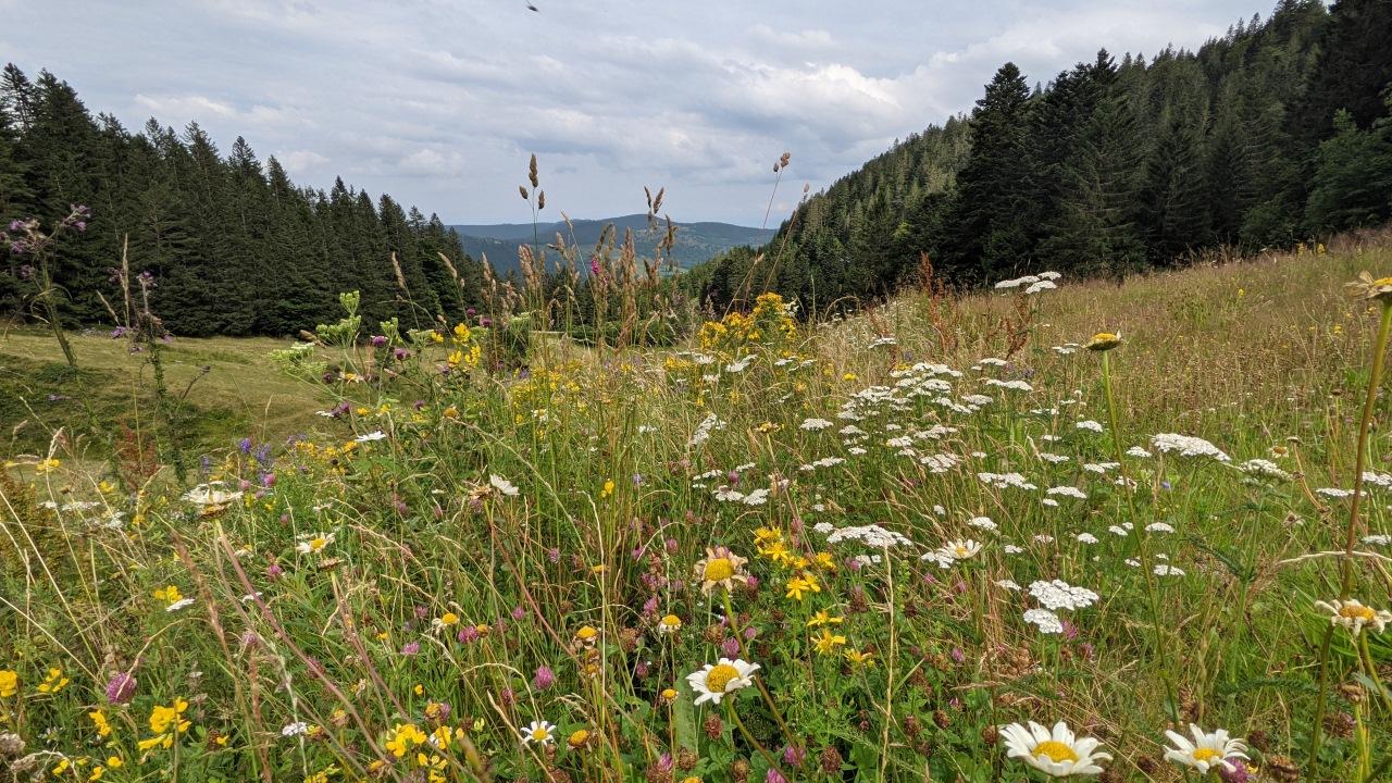 eine blühende Wiese mit Gräsern und Blumen in den Vogesen