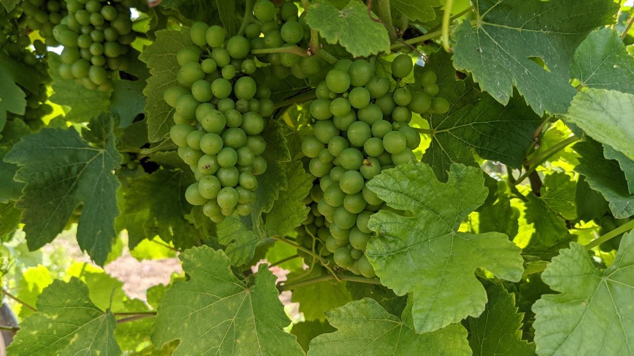 Grüne, noch nicht reife Weintrauben an einem Weinstrauch
