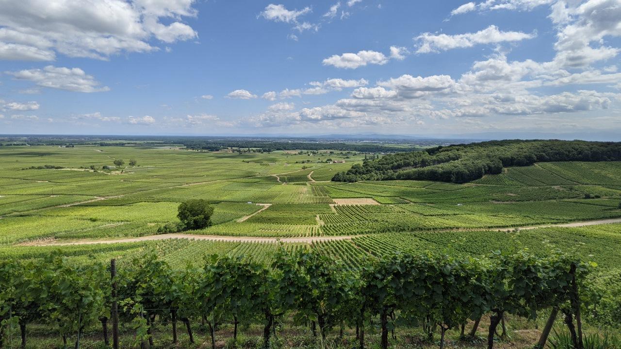 Blick über Weinberge bis zum Horizont in der Nähe von Riquewihr