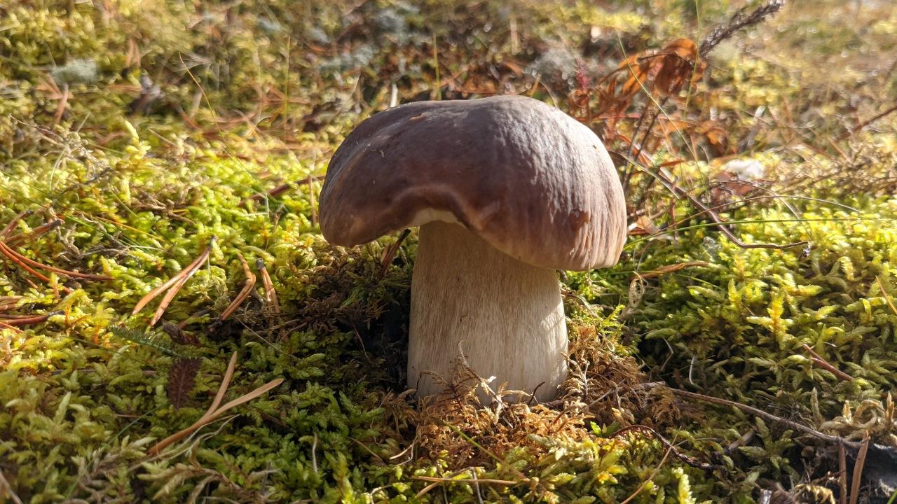 junger Steinpilz von Moos umgeben