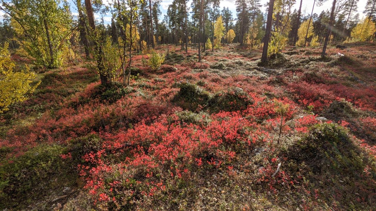 Wald in Finnland mit rot verfärbten Blaubeersträuchern