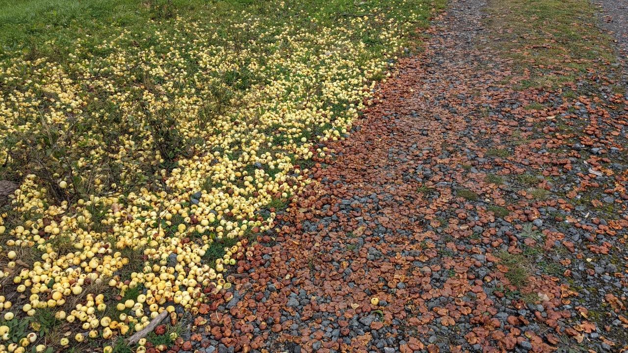 Vom Baum gefallene Äpfel, die auf einer Wiese liegen und auf einem Weg zermatscht wurden